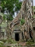被缠结的树根长满石寺庙,柬埔寨 库存照片