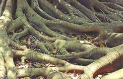 被缠结的无花果树根 图库摄影