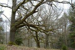 被缠结的树在森林,捷克,欧洲里 免版税库存照片
