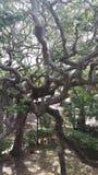 被缠结的树 库存照片