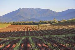 被耕的领域和最近被种植的糖藤茎 免版税库存照片