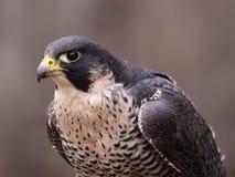 被聚焦的旅游猎鹰 免版税库存图片