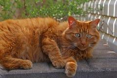 被聚焦的橙色虎斑猫 库存照片
