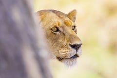被聚焦的狮子在一棵树后站立在非洲 库存照片