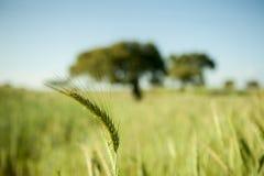 被聚焦的麦子 免版税库存照片