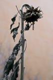 被脱水的向日葵 库存图片