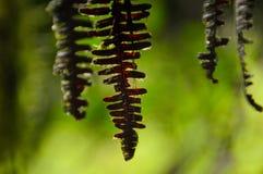 被脱水的蕨叶子 免版税图库摄影