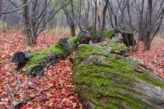 被舍去的青苔结构树 免版税图库摄影