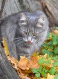 被舔的猫 免版税库存图片