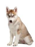 被舔的西伯利亚爱斯基摩人小狗 图库摄影