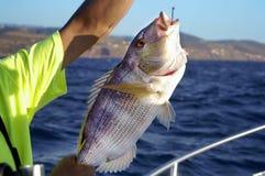 被获取的鱼 免版税库存图片