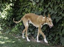 被虐待的病的狗 免版税库存图片
