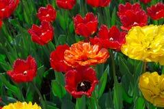 被装饰的红色,橙色和黄色长毛绒郁金香 免版税库存照片
