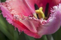 被装饰的郁金香花 库存照片