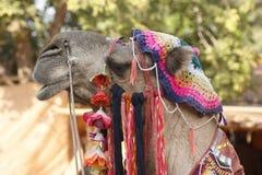 被装饰的骆驼纵向 免版税库存图片