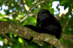 被覆盖的吼猴Alouatta palliata在自然栖所 在森林黑色猴子的黑猴子在树 在COS的动物 免版税库存图片