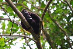 被覆盖的吼猴睡觉 免版税图库摄影