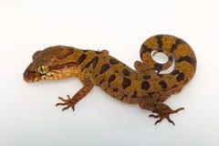被覆盖的地面壁虎,从恰蒂斯加尔邦的Cyrtodactylus nebulosus 免版税库存图片