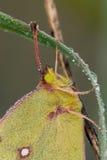 被覆盖的白蝴蝶特写镜头 图库摄影