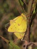 被覆盖的白蝴蝶联接 免版税库存照片