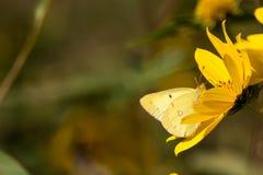 被覆盖的硫磺, Colias philodice 免版税库存照片