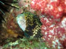 被覆盖的针鼹鳗鱼海鳗nebulosa 库存图片