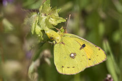 被覆盖的黄色蝴蝶哺养花蜜 库存图片