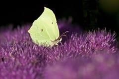 被覆盖的黄色蝴蝶 免版税图库摄影