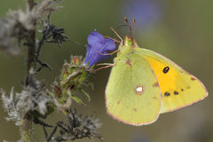 被覆盖的黄色蝴蝶& x28; Colias croceus& x29; 在viper& x27; s牛舌草或蓝蓟& x28; Echium vulgare& x29; 免版税库存图片