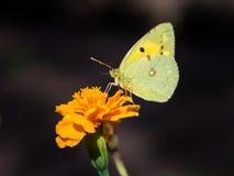被覆盖的黄色蝴蝶(Colias croceus) 库存图片