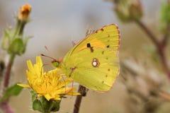 被覆盖的黄色蝴蝶& x28; Colias croceus& x29; 免版税库存图片