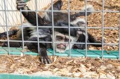 被覆盖的guereza疣猴guereza,也已知作为guereza 免版税图库摄影