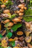 被覆盖的woodtuft在用青苔盖的一棵死的树采蘑菇 免版税库存图片