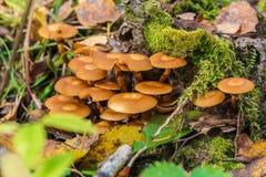 被覆盖的woodtuft在用青苔盖的一棵死的树采蘑菇 库存照片