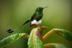 被解雇的球拍尾巴, Ocreatus underwoodii,从厄瓜多尔,绿色鸟坐一朵美丽的花,行动场面的罕见的蜂鸟  库存图片