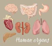 被设置的不同的人体器官 库存例证