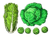 被设置的圆白菜手拉的传染媒介例证 大白菜,抱子甘蓝 向量例证