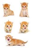 被设置的小猫 免版税库存图片