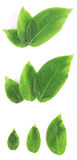 被设置的新鲜的绿色叶子 免版税库存照片