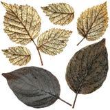 被设置的被隔绝的湿莓叶子 库存照片