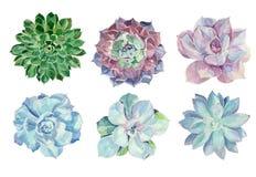 被设置的水彩多汁植物 免版税库存图片