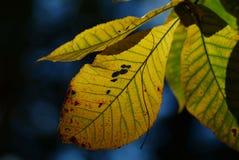 被设色的秋季叶子 库存图片