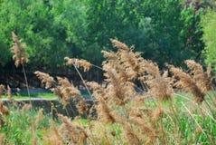 被转动的芦苇凋枯和黄色 库存图片