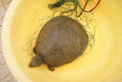被轰击的软的乌龟 库存图片