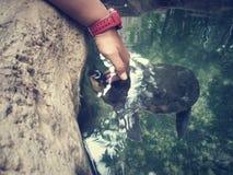 被轰击的软的乌龟 免版税图库摄影