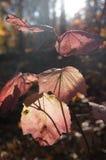 被过滤的阳光在安大略的精采桃红色秋叶,加拿大森林跳舞 免版税库存图片