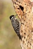 被返回的梯子啄木鸟 库存图片