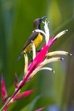 被返回的橄榄色sunbird 库存照片