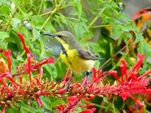 被返回的橄榄色sunbird 图库摄影