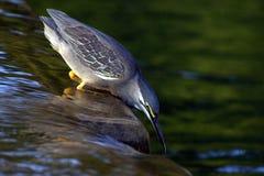 被返回的绿色苍鹭 免版税库存图片